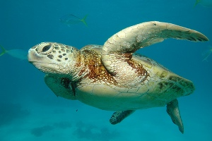 Great Barrier Reef -Sea Turtle
