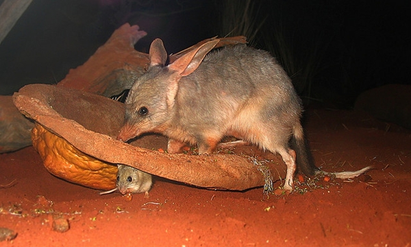 bilby