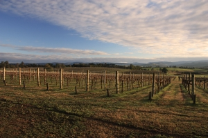 yarra vineyard
