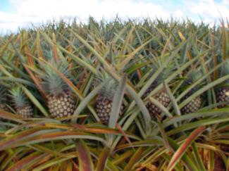 pineapple_4.jpg