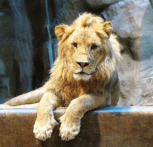 lion-habitat